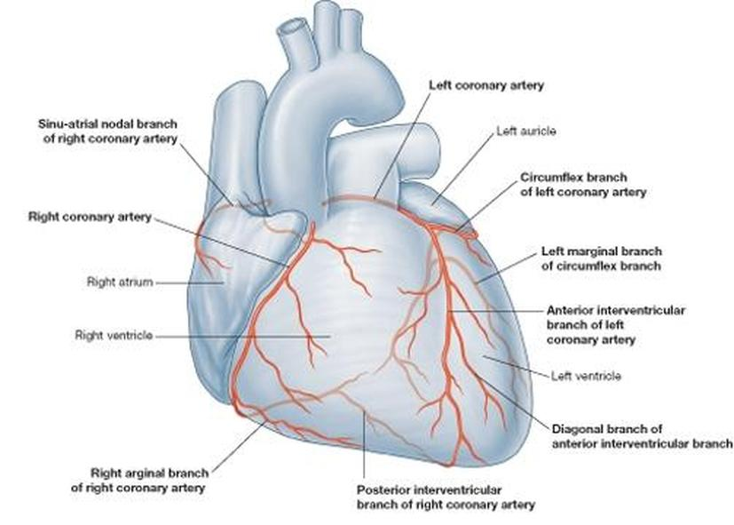 The blood vessels in the heart - Cardiovascular System