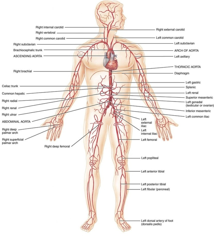 The big vessels - Cardiovascular System