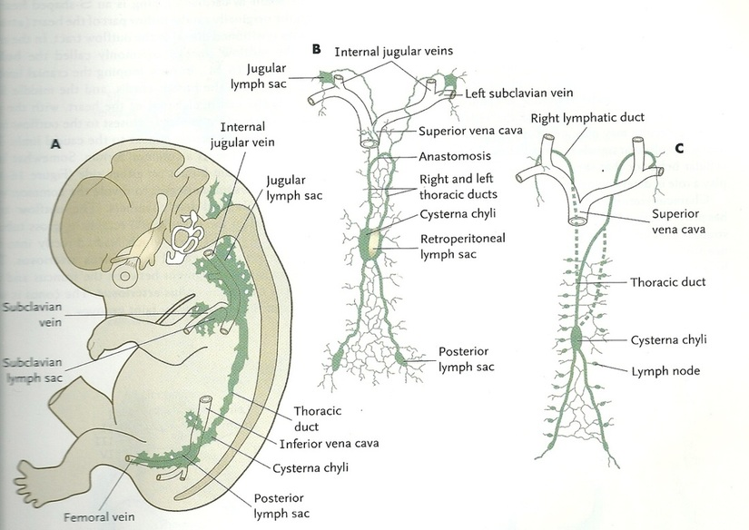 Development of the lymphatic channels - Cardiovascular System