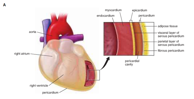 The histology - Cardiovascular System